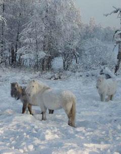 Siberian ponies