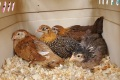 4 Pullets in a box